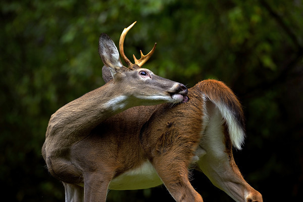 Whitetail Deer Just Animals Pic